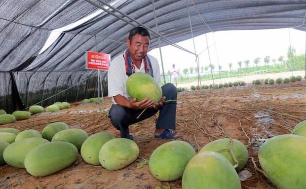 Cây dưa hấu siêu mắn chưa từng thấy trên thế giới: Đẻ sòn sòn 131 quả/vụ, lá chẳng thấy đâu mà trái sum sê - Ảnh 2.