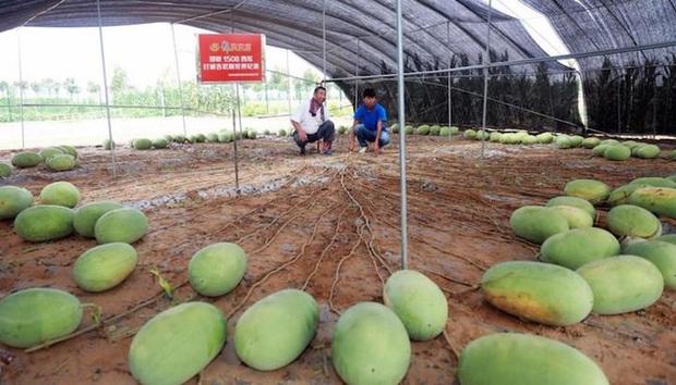 Cây dưa hấu siêu mắn chưa từng thấy trên thế giới: Đẻ sòn sòn 131 quả/vụ, lá chẳng thấy đâu mà trái sum sê - Ảnh 3.