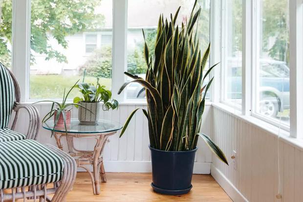 6 loại cây phong thủy nhà nào cũng nên trồng để tăng may mắn an lành, nhiều an khang thịnh vượng - Ảnh 5.