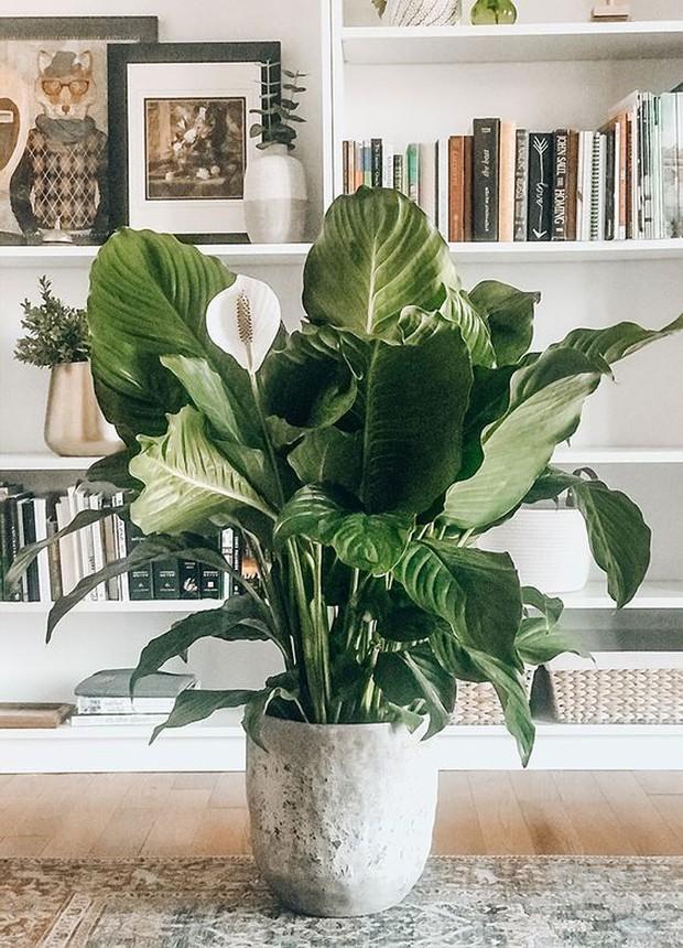 6 loại cây phong thủy nhà nào cũng nên trồng để tăng may mắn an lành, nhiều an khang thịnh vượng - Ảnh 9.