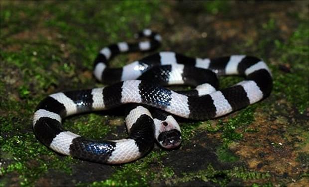 Người phụ nữ bị rắn độc cắn chết khi đang ngủ - Ảnh 1.
