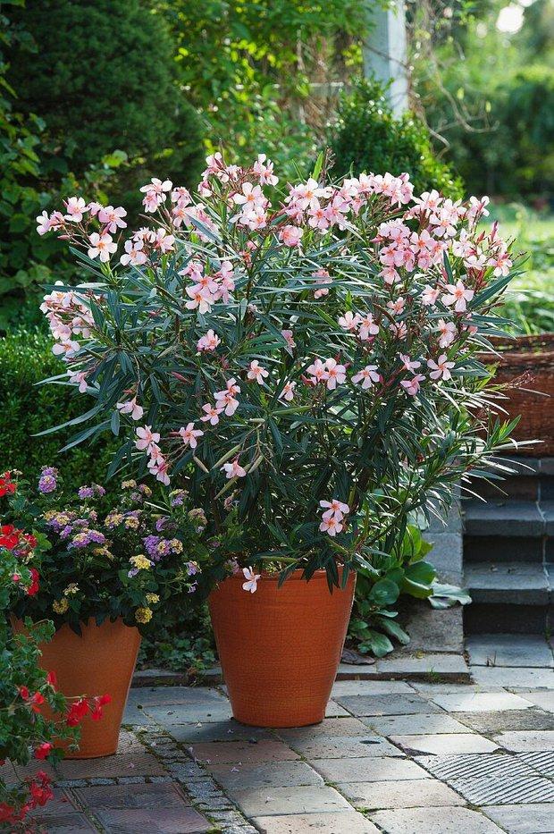 7 loại cây cảnh nhìn thì đẹp nhưng lại tiềm ẩn nguy hiểm, muốn trồng trong nhà phải cân nhắc kỹ - Ảnh 3.