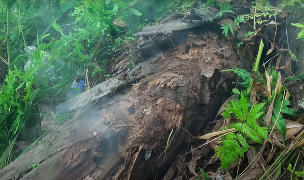 Vào rừng thấy thân cây mục nát đổ rạp dưới đất, anh chàng thử bóc ra thì phát hiện một thứ quý như vàng! - Ảnh 1.