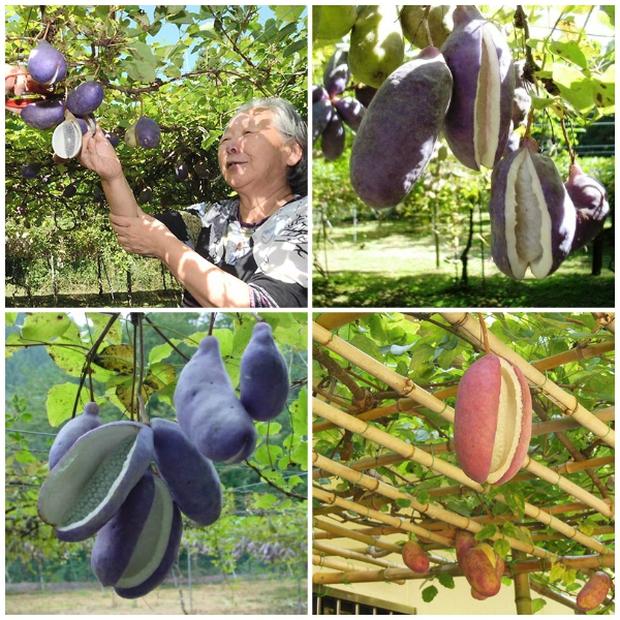 Thứ quả tím lịm tìm sim trông như xoài nhưng bên trong lại giống chuối, hoá ra ở Việt Nam giá lên tới cả trăm ngàn 1 trái - Ảnh 5.