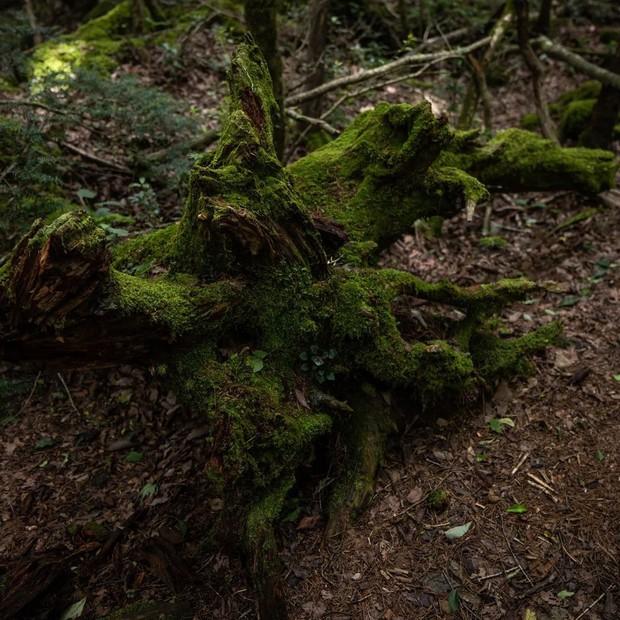 Một lần nói hết về Khu Rừng Tự Sát rùng rợn bậc nhất Nhật Bản: Ngập rác của người đã khuất, kì lạ đến nỗi GPS không hoạt động - Ảnh 6.