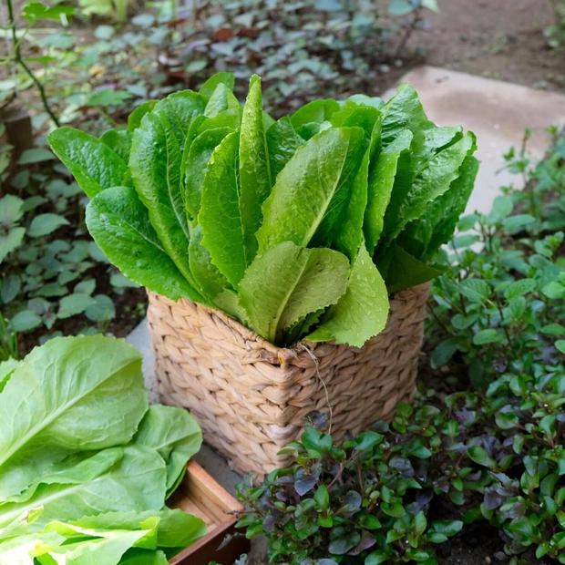 Vườn rau trên sân thượng quá đỉnh khiến dân tình nức nở ước ao, đủ loại rau củ đề huề chẳng thua gì siêu thị - Ảnh 7.
