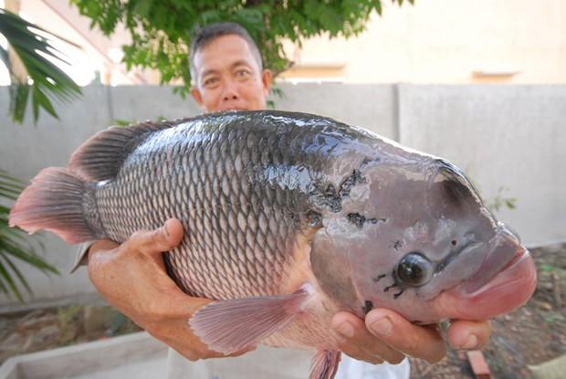 Dân mạng thi nhau tranh cãi về cân nặng của con cá siêu to khổng lồ: Nhìn thế này nhưng được bao nhiêu kg? - Ảnh 3.