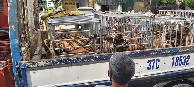 Phát hiện 16 con hổ được nuôi nhốt trong nhà dân - Ảnh 1.