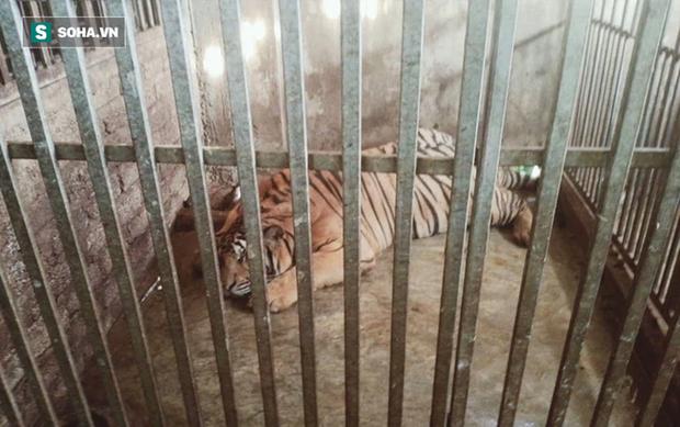 Video: Cận cảnh chuồng trại nuôi nhốt 17 con hổ lớn vừa bị công an triệt phá - Ảnh 5.