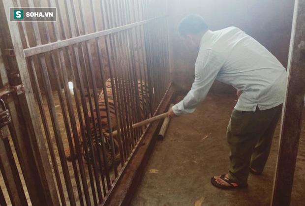Video: Cận cảnh chuồng trại nuôi nhốt 17 con hổ lớn vừa bị công an triệt phá - Ảnh 7.