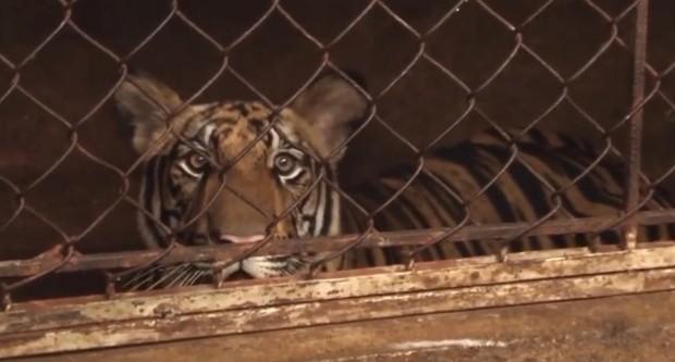 Vụ 17 con hổ ở Nghệ An: Hàng xóm bất ngờ khi sát nhà là nơi nuôi thú dữ - Ảnh 2.