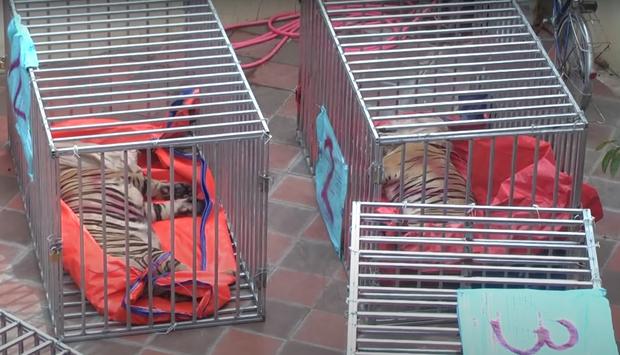Vụ nuôi nhốt 17 con hổ trong nhà như nuôi heo: Chủ nhà xây tầng hầm rộng cả trăm mét để tránh bị phát hiện - Ảnh 7.