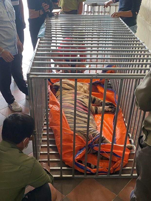 Nghệ An: 8 trong số 17 cá thể hổ đã chết sau khi thu giữ - Ảnh 1.