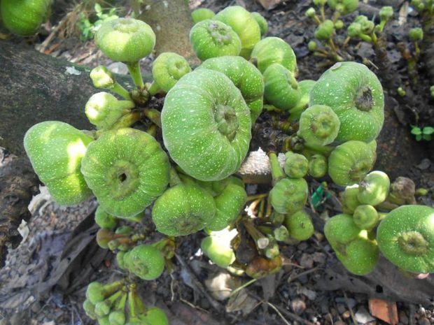 Nghệ sĩ Hoài Linh khoe vườn nhà mình có 1 loại cây quý mọc trái đột biến, dân mạng khẳng định: Cây này tiền tỷ cũng không bán! - Ảnh 3.