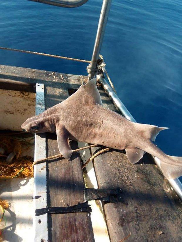 Đoàn thủy thủ tóm được cá mập mặt lợn siêu hiếm đang bơi lêu hêu gần bến cảng, chụp ảnh khoe lên mạng mà suýt bị đi tù - Ảnh 5.