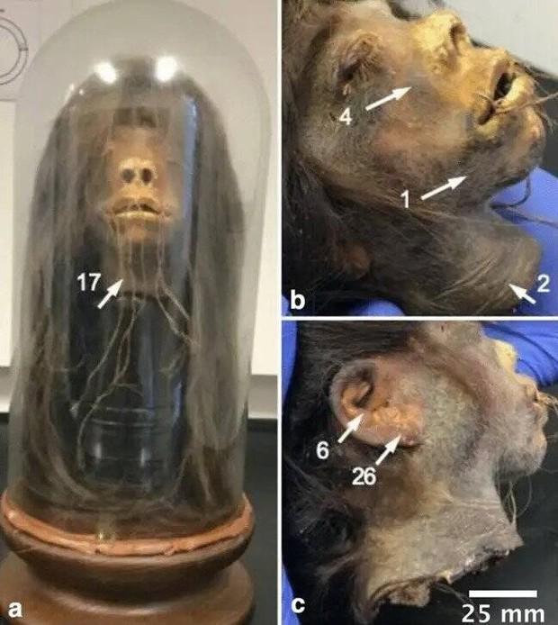 Chiếc đầu rùng rợn được dùng làm đạo cụ trong hàng loạt bộ phim hoá ra là… đầu người thật và phát hiện đầy bất ngờ của giới khoa học - Ảnh 4.