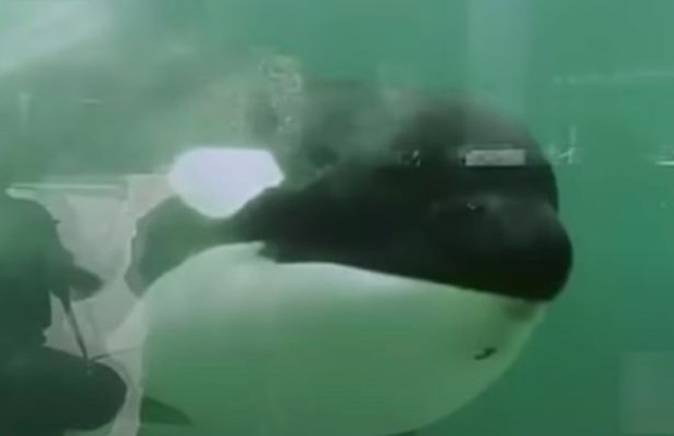 Bị bắt nhốt từ năm 3 tuổi, cá voi làm trò vui cho con người quay sang tấn công huấn luyện viên và kết thúc cuộc đời trong bi thảm - Ảnh 1.