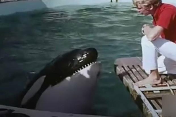 Bị bắt nhốt từ năm 3 tuổi, cá voi làm trò vui cho con người quay sang tấn công huấn luyện viên và kết thúc cuộc đời trong bi thảm - Ảnh 2.