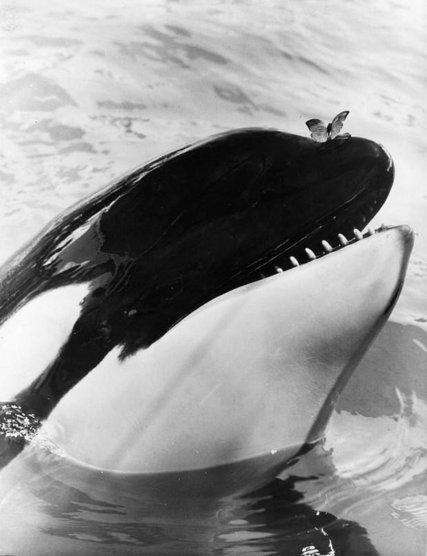Bị bắt nhốt từ năm 3 tuổi, cá voi làm trò vui cho con người quay sang tấn công huấn luyện viên và kết thúc cuộc đời trong bi thảm - Ảnh 3.
