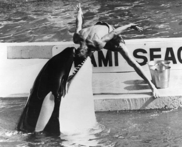 Bị bắt nhốt từ năm 3 tuổi, cá voi làm trò vui cho con người quay sang tấn công huấn luyện viên và kết thúc cuộc đời trong bi thảm - Ảnh 4.