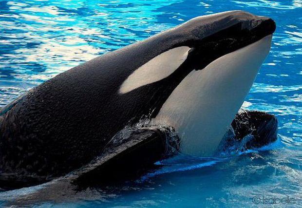 Bị bắt nhốt từ năm 3 tuổi, cá voi làm trò vui cho con người quay sang tấn công huấn luyện viên và kết thúc cuộc đời trong bi thảm - Ảnh 6.