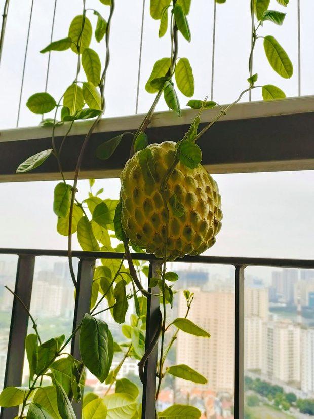 Khoe vườn cây trái trĩu quả trồng được trên chung cư, cô gái khiến dân mạng cười sang chấn tâm lý vì một lý do - Ảnh 2.