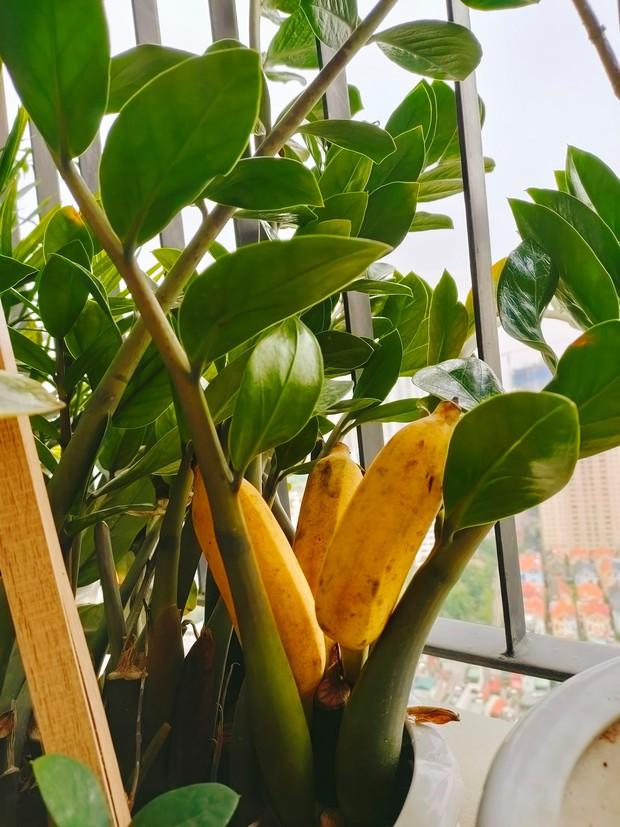 Khoe vườn cây trái trĩu quả trồng được trên chung cư, cô gái khiến dân mạng cười sang chấn tâm lý vì một lý do - Ảnh 5.
