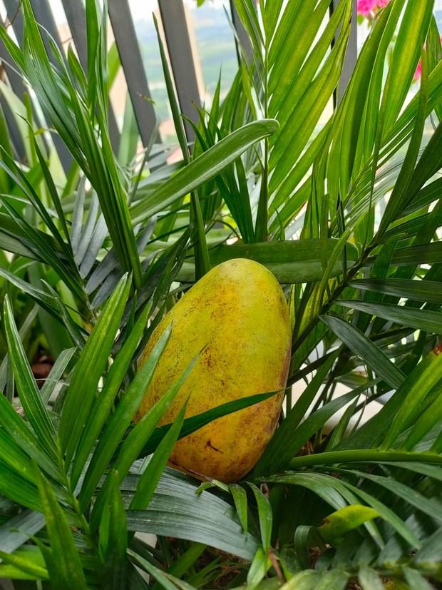 Khoe vườn cây trái trĩu quả trồng được trên chung cư, cô gái khiến dân mạng cười sang chấn tâm lý vì một lý do - Ảnh 7.
