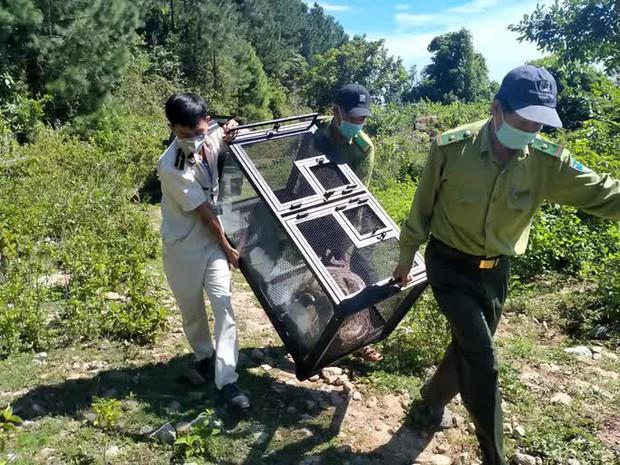 Clip: Trăn gấm quý hiếm xuất hiện ở trung tâm Đà Nẵng được thả về rừng an toàn - Ảnh 2.