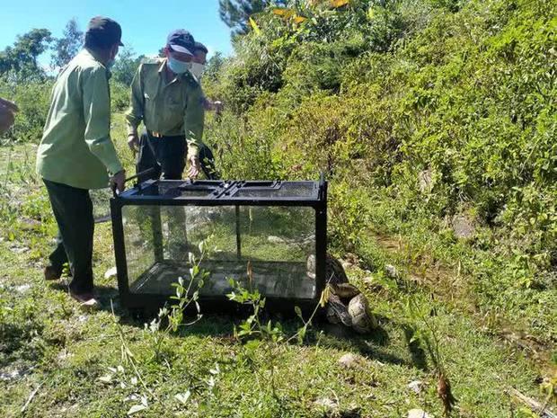 Clip: Trăn gấm quý hiếm xuất hiện ở trung tâm Đà Nẵng được thả về rừng an toàn - Ảnh 3.