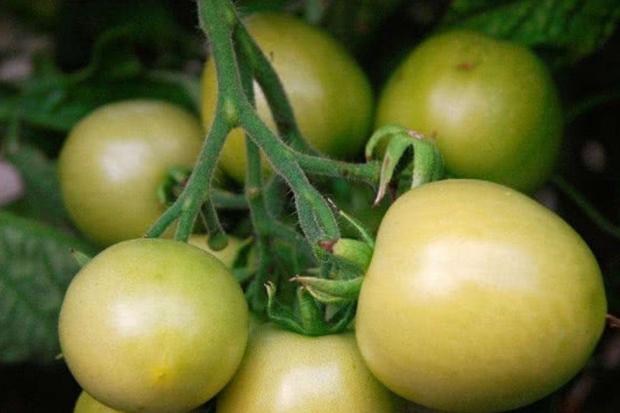 4 loại rau quả quen thuộc trong cuộc sống hóa ra lại có hại cho sức khỏe, tốt nhất đừng ăn - Ảnh 1.