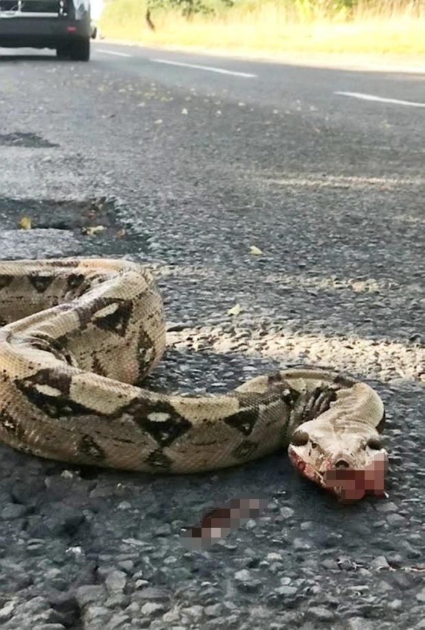 Con trăn bị xe cán nằm chết trên đường, dân địa phương không thương xót lại sợ hãi, lo con cái gặp nạn bởi lý do này - Ảnh 1.