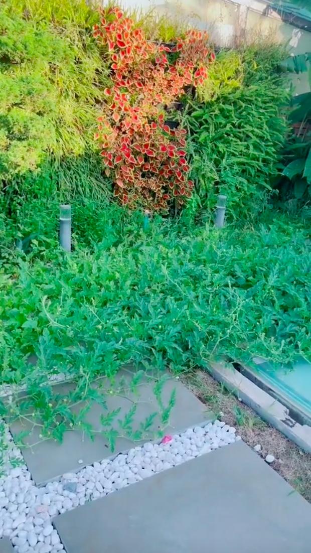 Về quê tránh dịch 1,5 tháng, gia chủ tá hoả khi quay lại thấy vườn penthouse mọc đầy dưa hấu, nghe lý do mới thấy cực nể - Ảnh 1.