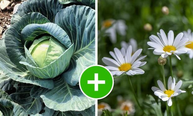 8 bộ đôi rau củ là trời sinh 1 cặp, trồng cạnh nhau không những xanh tốt mà còn giảm sâu bệnh - Ảnh 3.