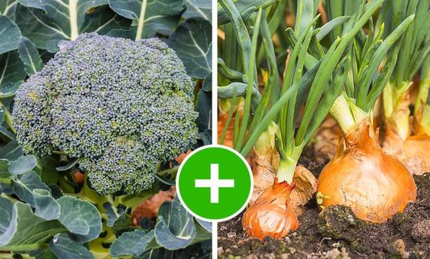 8 bộ đôi rau củ là trời sinh 1 cặp, trồng cạnh nhau không những xanh tốt mà còn giảm sâu bệnh - Ảnh 5.