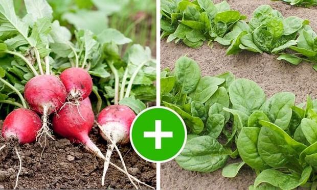 8 bộ đôi rau củ là trời sinh 1 cặp, trồng cạnh nhau không những xanh tốt mà còn giảm sâu bệnh - Ảnh 9.