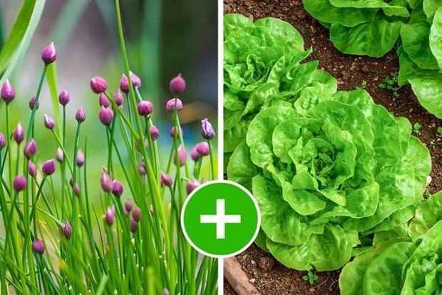 8 bộ đôi rau củ là trời sinh 1 cặp, trồng cạnh nhau không những xanh tốt mà còn giảm sâu bệnh - Ảnh 11.