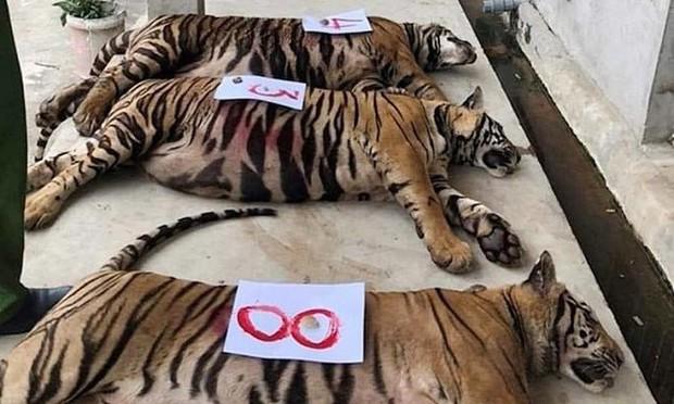 9 con hổ ở Nghệ An còn sống sau vụ giải cứu hiện ra sao? - Ảnh 1.
