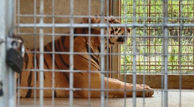 9 con hổ ở Nghệ An còn sống sau vụ giải cứu hiện ra sao? - Ảnh 2.