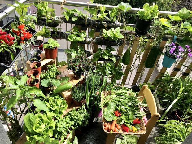 Vườn rau đẹp ngất ngây trên ban công 2.5m2 ở Hà Nội, gia chủ tự tay trồng đủ loại rau củ nhờ kinh nghiệm học trên mạng - Ảnh 3.
