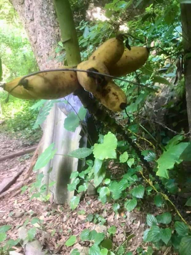 Trồng chuối hết 4 năm ròng rã, tới ngày cây ra quả gia chủ muốn té ngửa khi chứng kiến thứ mình sắp hái - Ảnh 2.