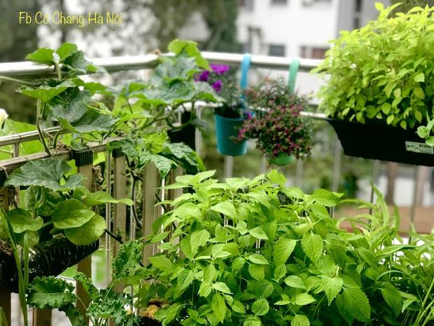 Vườn rau đẹp ngất ngây trên ban công 2.5m2 ở Hà Nội, gia chủ tự tay trồng đủ loại rau củ nhờ kinh nghiệm học trên mạng - Ảnh 9.