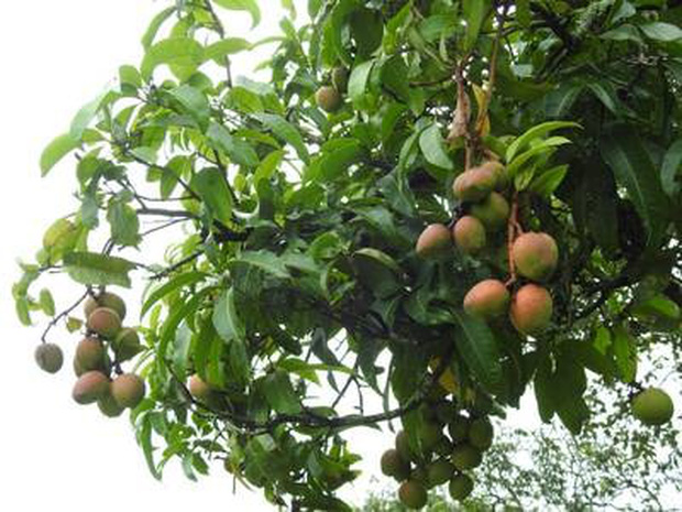 Xoài Ấn Độ tiến vua siêu hiếm: Trông như quả táo, vị như quả chuối, duy nhất một nơi trên thế giới trồng được - Ảnh 7.