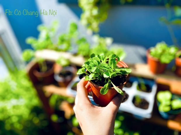 Vườn rau đẹp ngất ngây trên ban công 2.5m2 ở Hà Nội, gia chủ tự tay trồng đủ loại rau củ nhờ kinh nghiệm học trên mạng - Ảnh 8.