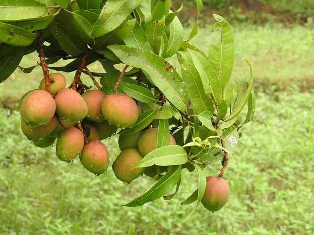 Xoài Ấn Độ tiến vua siêu hiếm: Trông như quả táo, vị như quả chuối, duy nhất một nơi trên thế giới trồng được - Ảnh 5.