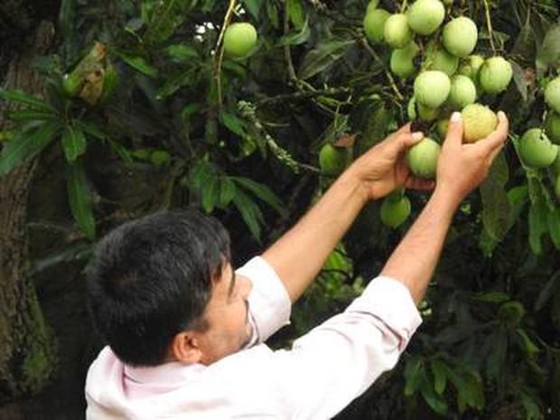 Xoài Ấn Độ tiến vua siêu hiếm: Trông như quả táo, vị như quả chuối, duy nhất một nơi trên thế giới trồng được - Ảnh 4.