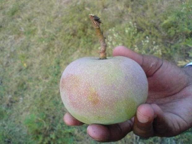 Xoài Ấn Độ tiến vua siêu hiếm: Trông như quả táo, vị như quả chuối, duy nhất một nơi trên thế giới trồng được - Ảnh 6.