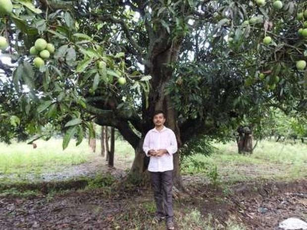 Xoài Ấn Độ tiến vua siêu hiếm: Trông như quả táo, vị như quả chuối, duy nhất một nơi trên thế giới trồng được - Ảnh 3.