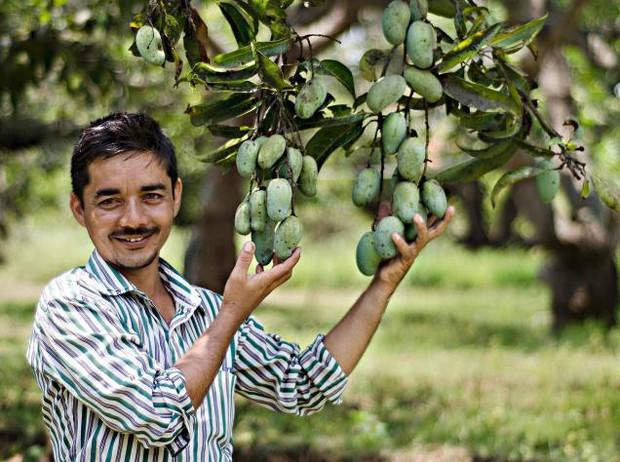 Xoài Ấn Độ tiến vua siêu hiếm: Trông như quả táo, vị như quả chuối, duy nhất một nơi trên thế giới trồng được - Ảnh 2.
