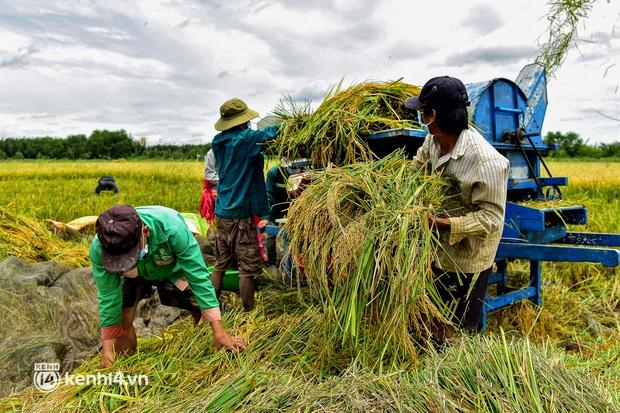Thất nghiệp suốt 3 tháng do dịch Covid-19, nhóm công nhân mắc kẹt ở Sài Gòn ra đồng gặt lúa thuê, bắt cá mưu sinh - Ảnh 1.